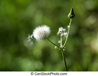 details of the dandelion in spring time