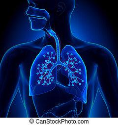 detalhado, anatomia,  -,  Alveo, pulmões