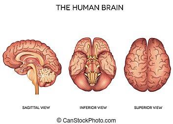 detalhado, cérebro, anatomia, human