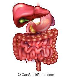 detalhado, estômago, órgãos, coloridos, cercar, outro,...