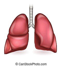detalhado, pulmões, ilustração, anatomia, fundo, branca