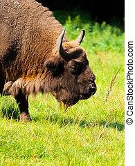 detalhado, vista, bisonte, europeu