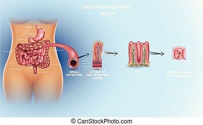 detaljerad, anatomi, gastrointestinalt område
