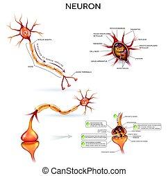 detaljerad, anatomi, neuron