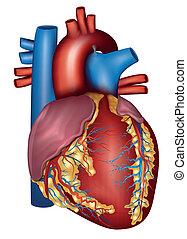detaljerad, hjärta, färgrik, anatomi, design, mänsklig