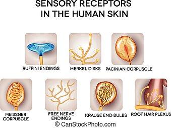 detaljerad, sensorisk, receptors, skinn, mänsklig, illustrations.