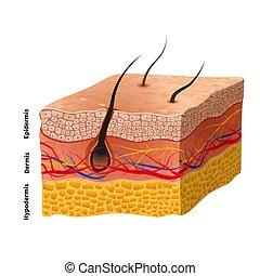 detaljerad, struktur, läkar illustration, människa flå