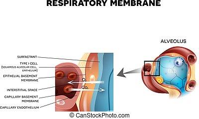 detallado, anatomía, respiratorio, alvéolo, membrana