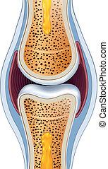 detallado, anatomy., synovial, illustration., normal, sano, coyuntura