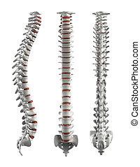 detallado, espina dorsal, con, discos de intervertebral, -,...