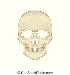 detallado, plano, huesudo, illustration., cráneo, sapiens., moderno, -, braincase, anatómico, homo, estructura, humano, parte, frente, head., vista., style., caricatura, icono
