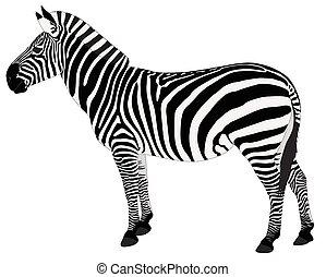 detallado, zebra, ilustración