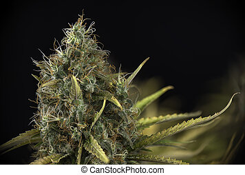 detalle, de, cannabis, cola, (black, ruso, marijuana, strain), en, tarde, florecimiento, etapa
