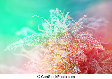 detalle, de, cannabis, cola, (mangolope, marijuana, strain), con, visibl, luz, viraje
