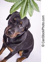 detalle, de, hoja cannabis, y, rottweiler, perro, aislado,...