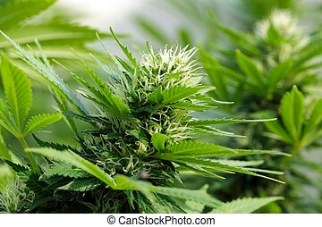 detalle, de, un, cannabis, flowerhead