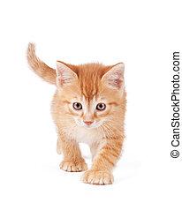 Determined orange kitten walking - Cute orange kitten with...
