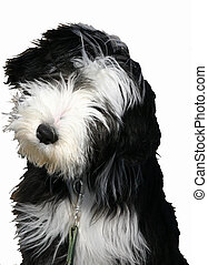 detoured bearded - puppy purebreed bearded collie