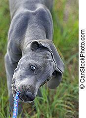 deutsche dogge, junger hund