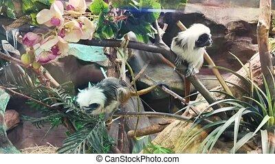 deux, arbres., chevelu, sauter, singes