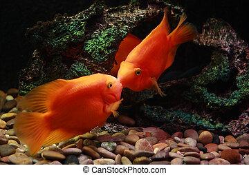 Poisson rouge baisers deux poisson rouge baisers bol for Tarif poisson rouge