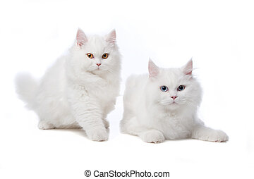 siamois mignon chats deux s ance siamois deux photos de stock rechercher des. Black Bedroom Furniture Sets. Home Design Ideas