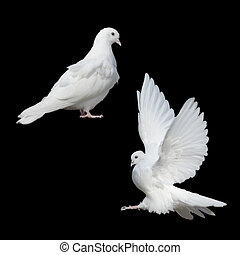 deux, blanc, colombes