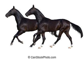 deux, cheval noir, isolé, blanc