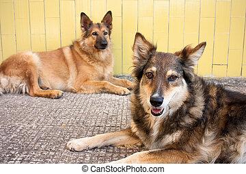deux, errant, chiens