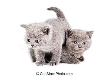 deux, jouer, britannique, chatons, chat