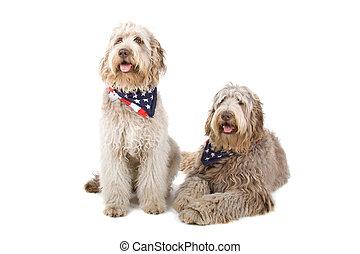 deux, labradoodle, chiens