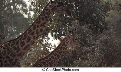 deux, marche, slow-mo, girafes