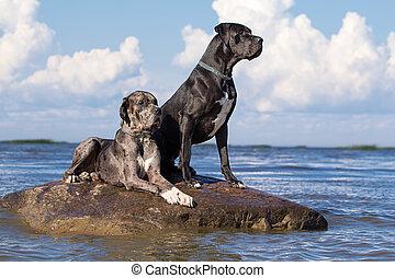 deux, mastiff, chiens, sur, balancez dans mer