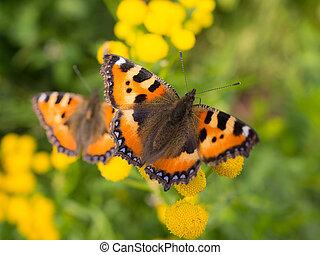 deux, orange, tansy, fleurs, papillon