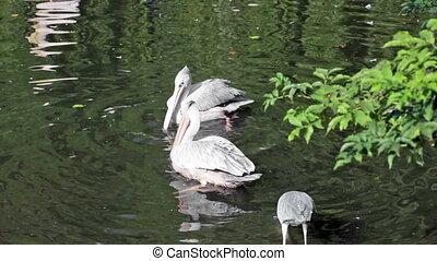 deux, pélicans, et, héron gris, prise, fish, dans, les, lac
