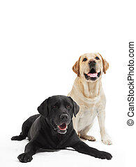 deux, retriever labrador, chiens