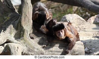 deux, singes