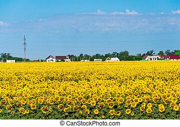 devant, champ, tournesol, village