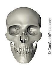 devant, -, crâne humain, vue