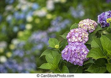 devant, hortensia, fleurs