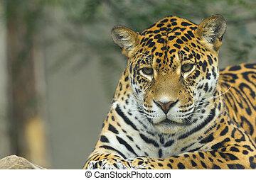 devant, jaguar, vue