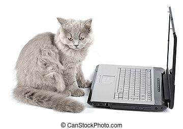 devant, ordinateur portable, isolé, britannique, chaton