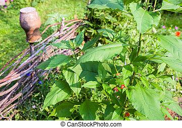 devant, plante, canisse, tournesol, barrière