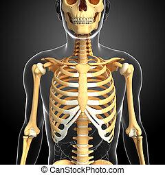 devant, squelette, humain, vue