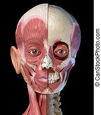 devant, système, musculaire, skull., tête, vue., humain