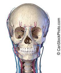 devant, veines, crâne, arteries., vue., humain