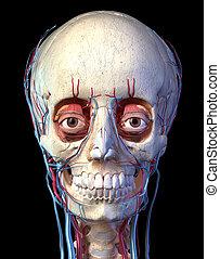 devant, veines, crâne, arteries., yeux, vue., humain