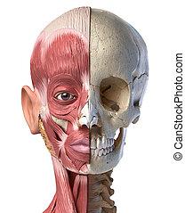 devant, vue., tête, skull., humain, muscles