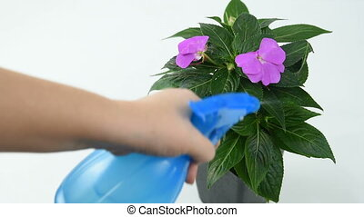 devchuka sprinkles the flower Impatiens from the blue...