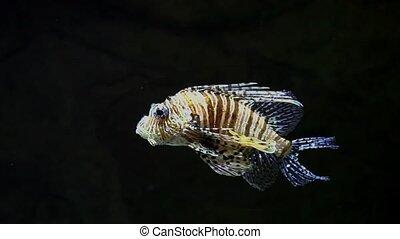 Devil firefish close to tracking shot